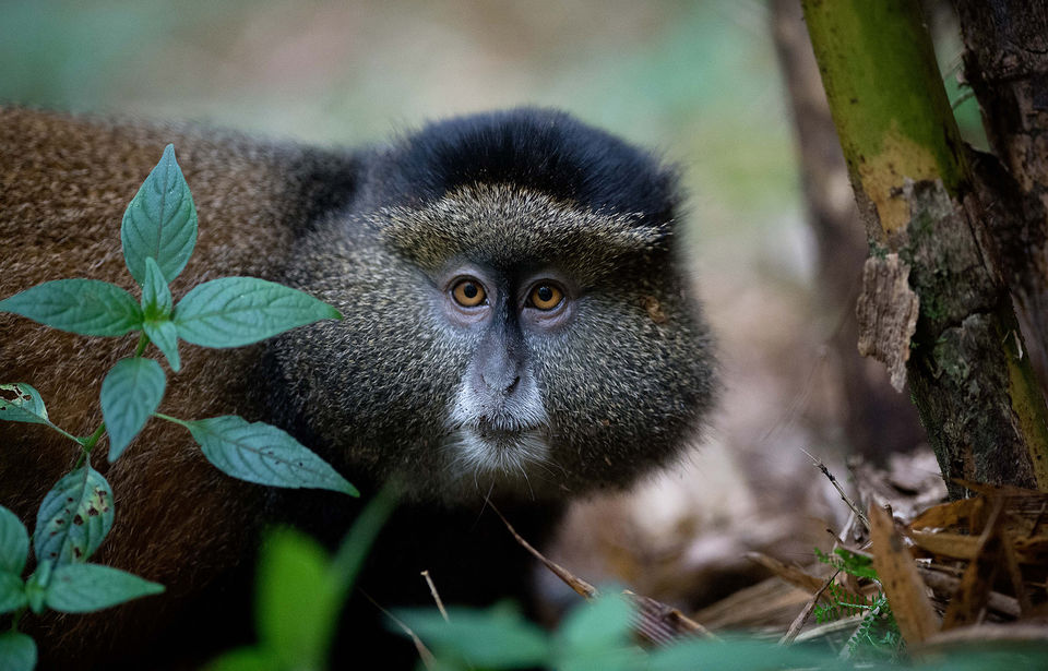4 Days Mgahinga National Park Safari (Gorilla trekking, Golden Monkey tracking, and Batwa trail)