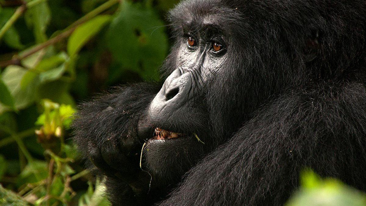 3 Days Gorilla Trekking in Congo
