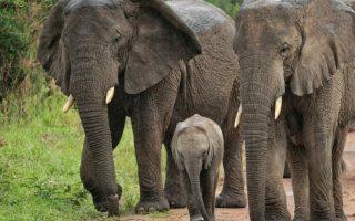 5 Days Virunga Gorillas and Akagera Wildlife safari