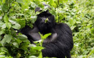 5 Days Virunga, Lake Kivu, and Nyungwe forest safari tour