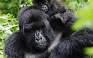 7 Days Uganda Rwanda and Congo gorilla safari