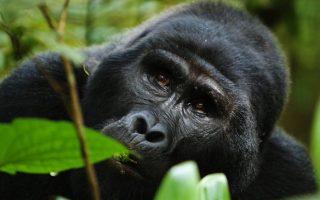 7 Days Rwanda Congo Safari