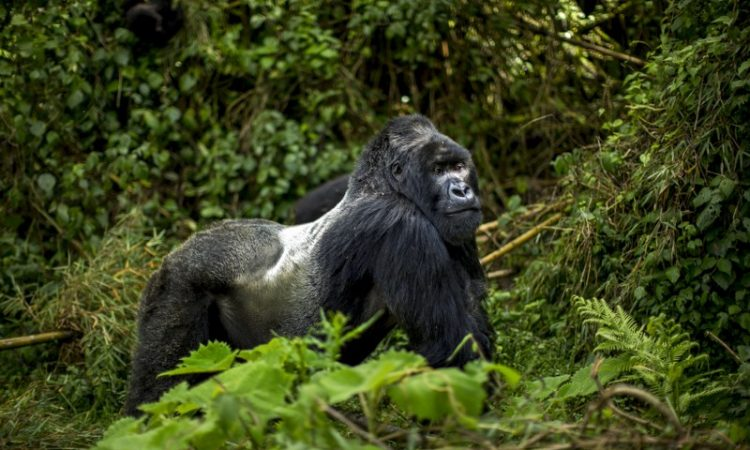 5 Days Rwanda and Congo Double Gorilla Trekking safari
