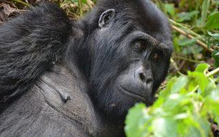 11 Days Best of Rwanda Uganda Safari