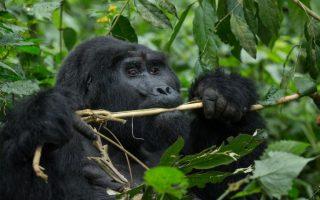 5 Days Bwindi Gorilla Trekking Safari