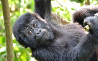 6 Days Uganda Primate Viewing Adventure (Gorillas & Chimpanzees)