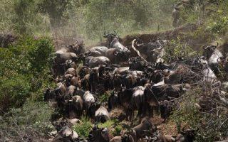 8 Days Kenya Wildebeest & Rwanda Gorilla tour