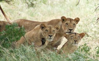 Lion Tracking Experience in Uganda