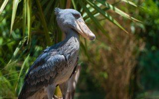 Shoebill stork safaris in Uganda